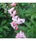PENSTEMON hyb. Apple Blossom / PENSTEMON