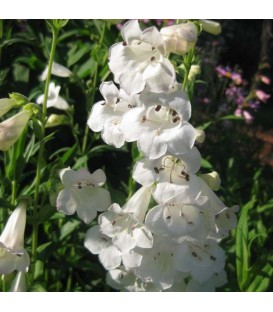 Penstemon Hyb. White Bedder / Penstemon