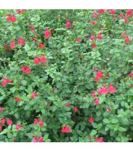 Salvia Microphylla (Grahamii) Violette/ Sauge