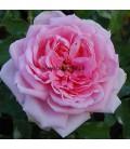 Vieille rose Comte de Chambord
