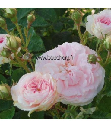 Vieille rose Cuisse de Nymphe