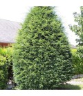 Taxus Baccata / If Commum
