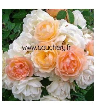Vieille rose Ghislaine de Féligonde