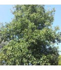Alnus Cordata / Aulne à feuilles En Coeur