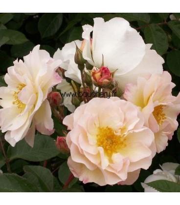 Vieille rose Pénélope