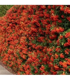 PYRACANTHA fruits rouges / BUISSON ARDENT FRUITS ROUGES