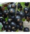 RIBES nigrum / CASSIS A FRUITS