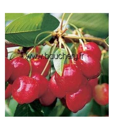 Cerisier Anglaise Hâtive