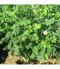 Sorbus Domestica / Cormier