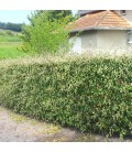 Haie Cotoneaster Franchetii  Kit 10 M