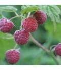 Haie Petits Fruits Kit 10 M