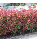 HAIE PHOTINIA kit de 10 ou 25m