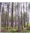 Pinus Laricio Corsicana / Pin Laricio de Corse