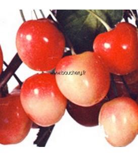 Cerisier Bigarreau Napoléon