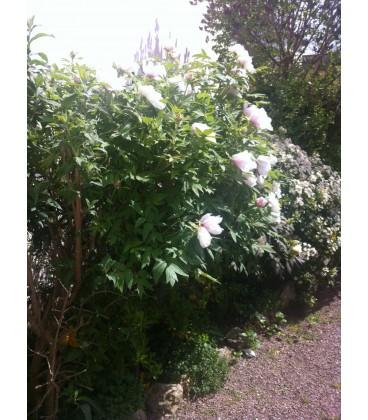 PAEONIA suffruticosa mauve / PIVOINE EN ARBRE MAUVE