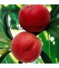 Brugnon blanc Nectarose