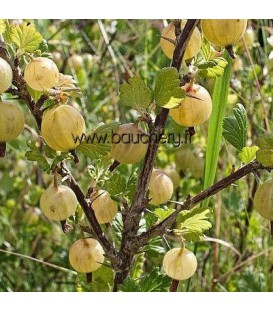 Ribes Uva-Crispa Fruits Blancs / Groseillier à Maquereaux Fruits Blancs