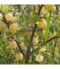 RIBES uva-crispa fruits blancs / GROSEILLIER A MAQUEREAUX FRUITS BLANCS