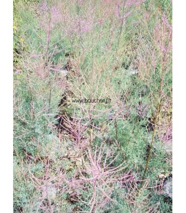 TAMARIX ramosissima Pink Cascade / TAMARIS D'ETE