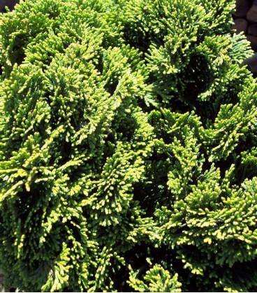 CHAMAECYPARIS obtusa Nana Gracilis / CYPRES OBTUSA NANA GRACILIS