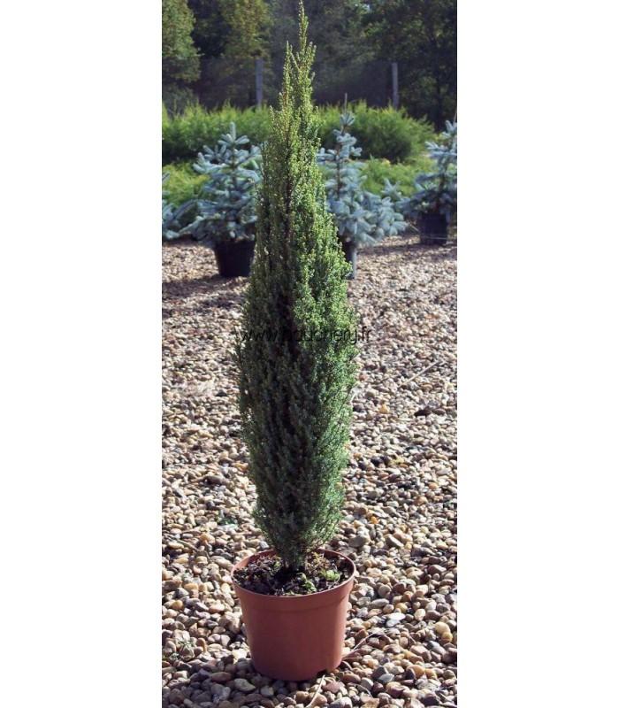 juniperus communis hibernica genevrier d 39 irlande. Black Bedroom Furniture Sets. Home Design Ideas