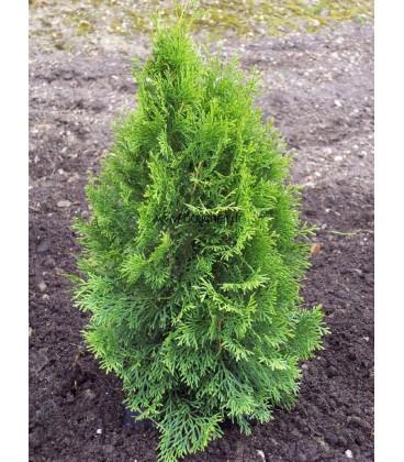 THUJA occidentalis Smaragd / THUYA EMERAUDE