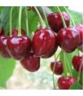 Cerisier Bigarreau Geant de Hedelfingen