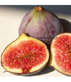 Figuier Fruits Rouges