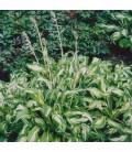 HOSTA undulata Variegata / HOSTA