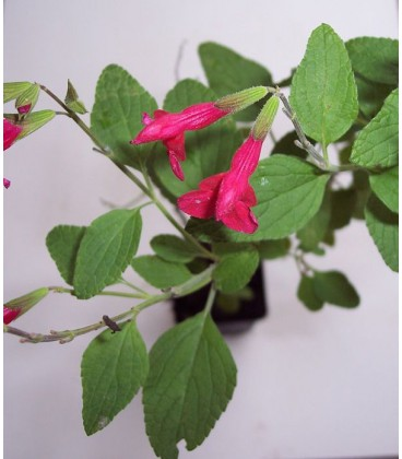 SALVIA microphylla (grahamii) / SAUGE