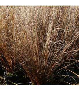 Carex Bucchananii / Laiche