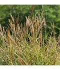 Miscanthus Sinensis Adagio / Eulalie