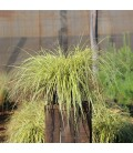 CAREX evergold / LAÎCHE
