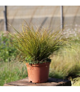 Carex Prairie Fire / Laiche