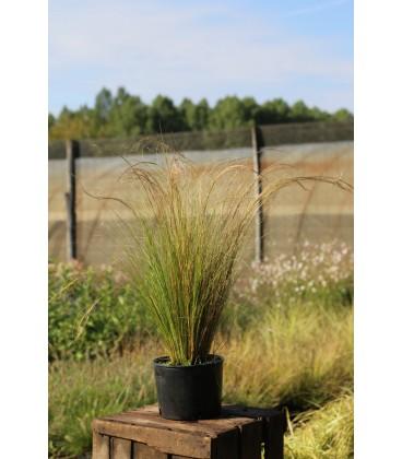 STIPA tenuifolia / CHEVEUX D'ANGE