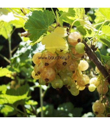 Groseillier à grappes - fruits blancs