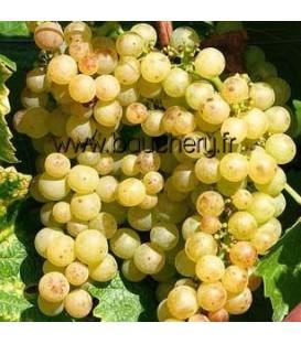 Vigne Chasselas de Fontainebleau - Raisin de table