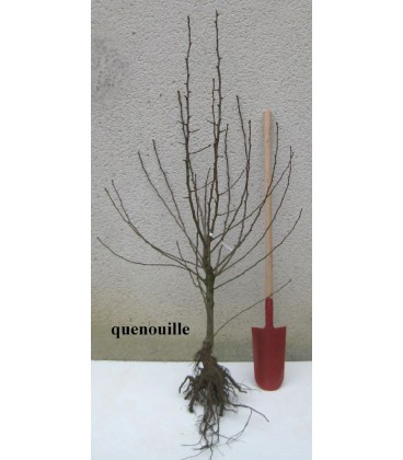 Pommier - Reinette dorée de l'Indre