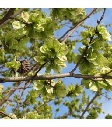 ULMUS campestris - Orme champêtre