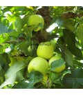 Pommier Golden Delicious verrier