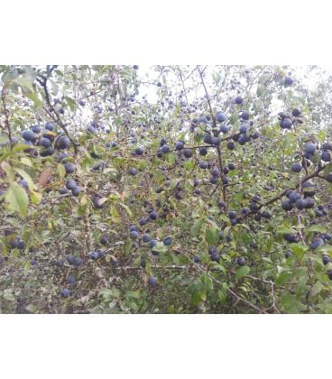 PRUNUS spinosa/épine noire