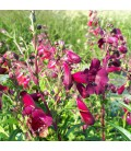 Penstemon Black Bird / Penstemon