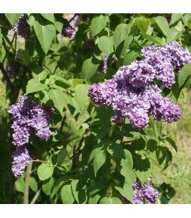 Syringa Vulgaris Katherine Havemeyer / Lilas Katherine Havemeyer
