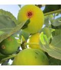 Figuier Fruits Jaunes