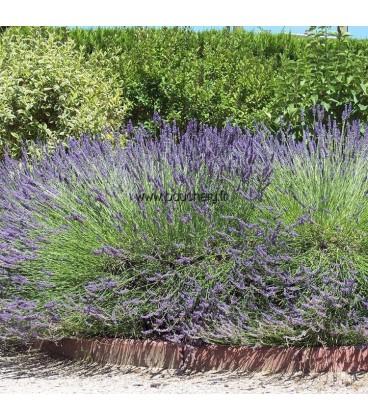 LAVANDULA angustifolia Hidcote / LAVANDE HIDCOTE