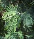 Acacia Dealbata / Mimosa Dealbata (D'Hiver)
