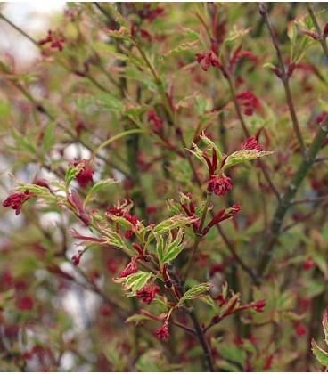 Acer Palmatum Butterfly / Erable Palmatum Butterfly