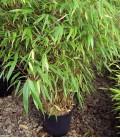 Bambou Murieliae Jumbo