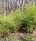 Bambou Phyllostachys Aurea / Bambou Phyllostachys Dore