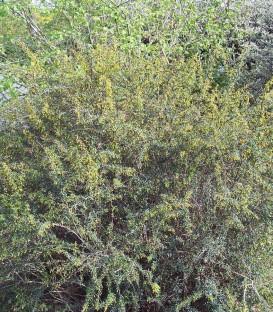 Berberis Stenophylla / Berberis Stenophylla